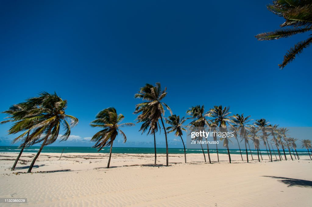Coconut Trees : Stock Photo