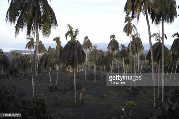 TOPSHOT A coconut trees weighed down by ash are seen after Taal volcano began spewing ash over Tanauan town Batangas province south of Manila on...