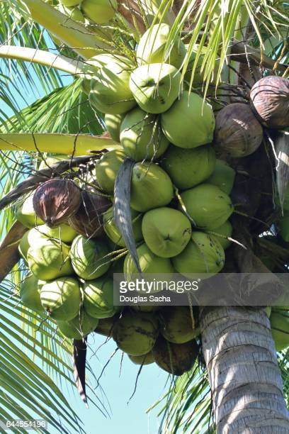 Coconuts hanging from a tree, Marco Island, Florida, USA (Cocos_nucifera)