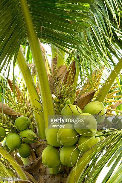 Coconuts Hanging on Palm Tree