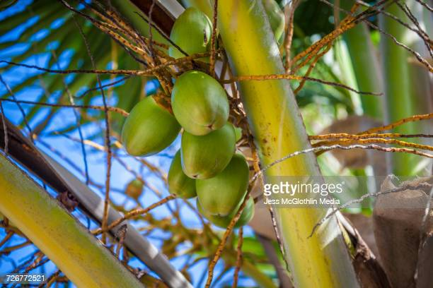 Coconuts in a palm tree, Belize