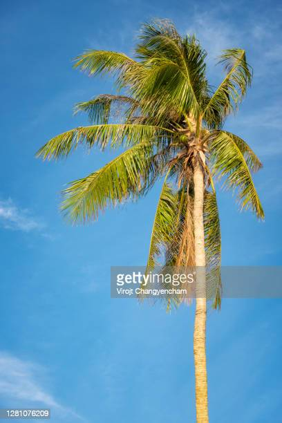 coconuts tree on the blue sky background - 2016 stock pictures, royalty-free photos & images