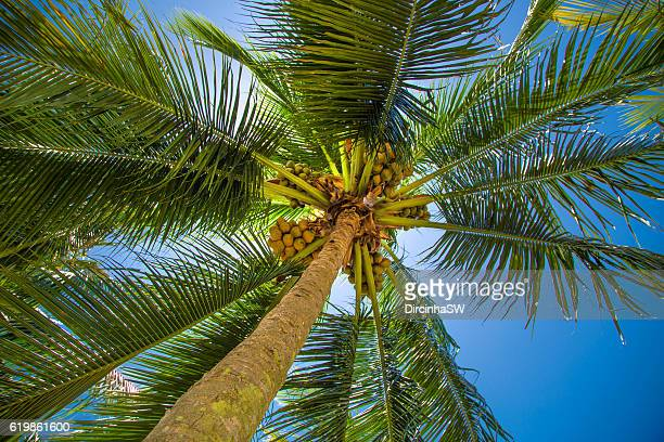 coconuts tree. - coconut palm tree stock pictures, royalty-free photos & images