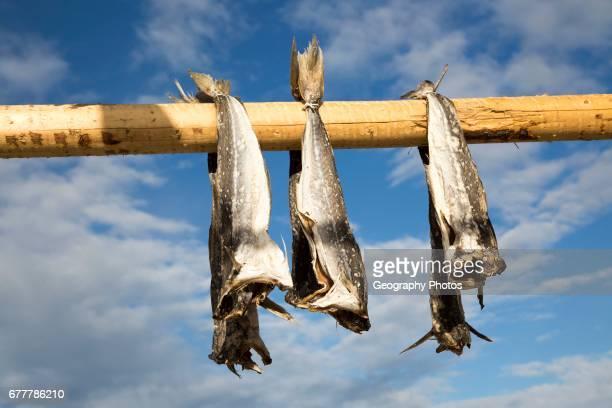 Cod fish drying outside on wooden pole Svolvaer Lofoten Islands Nordland Norway