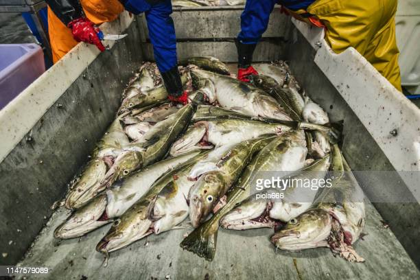 cod fish processing in a fish industry - atlantic ocean stock pictures, royalty-free photos & images