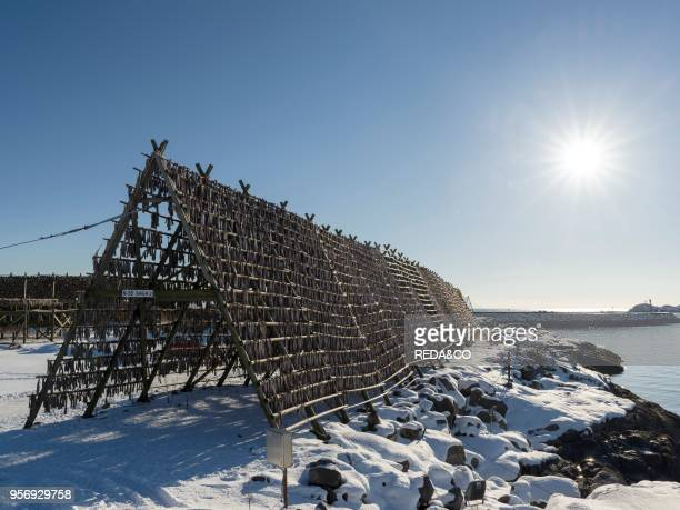 Cod on drying rack to produce stockfish near the harbour in the town of Svolvaer island Austvagoya The Lofoten islands in northern Norway during...