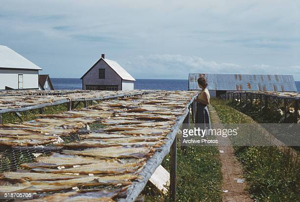 Codfish drying at SainteThérèsedeGaspé Quebec Canada circa 1960