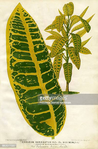 Codiaeum Variegatum Croton Maximum Solomon island Illustration by P Stroobant and lithograph by L Stroobant from 'Revue de l'Horticulture Belge et...