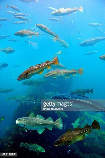 cods in an aquarium in norway - océan atlantique photos et images de collection