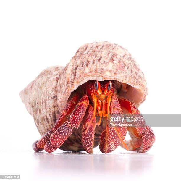 coenobita perlatus - hermit crab stock pictures, royalty-free photos & images