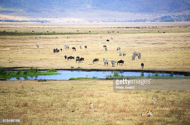co-existence, ngorongoro crater, tanzania - waterhole stock pictures, royalty-free photos & images