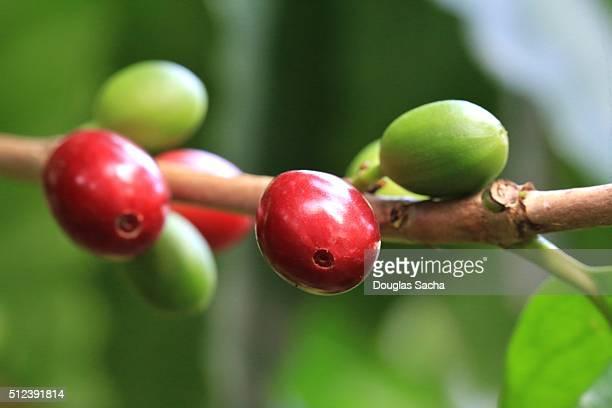 Coffea arabica, berries and leaves