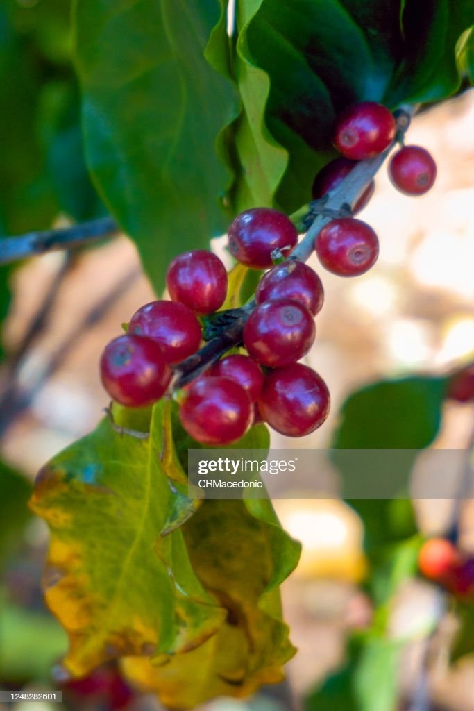 Coffea arabica berries on the bush : Stock Photo