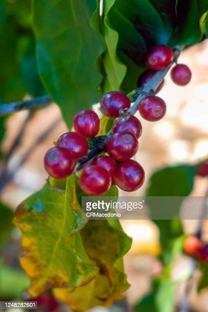 coffea arabica berries on the bush - crmacedonio stock pictures, royalty-free photos & images