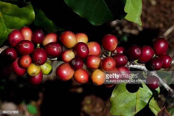 Coffee agriculture