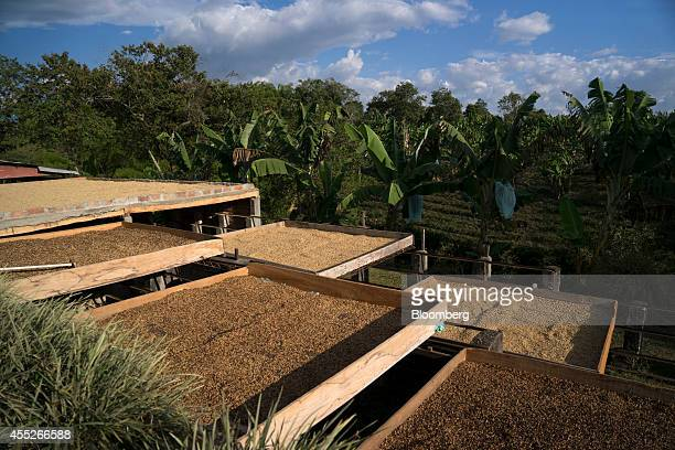 Coffee beans are separated for drying at the Finca Gran Bretana coffee plantation in Quindio Colombia on Monday Sept 8 2014 Coffee production in...