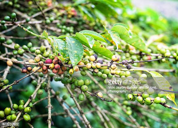 Coffee Beans being grown at Ngiresi in Tanzania