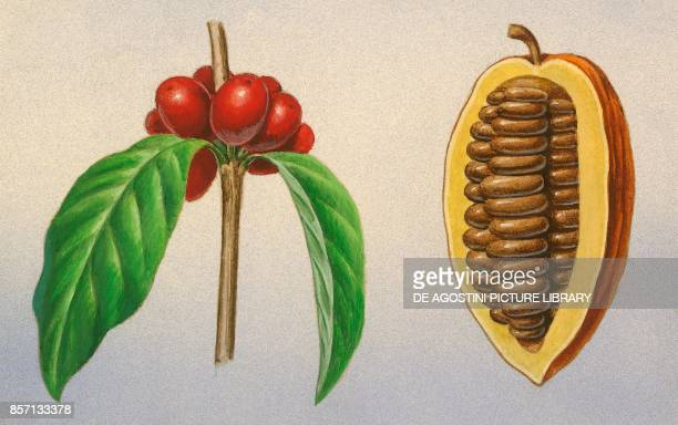Coffee beans cacao fruit drawing