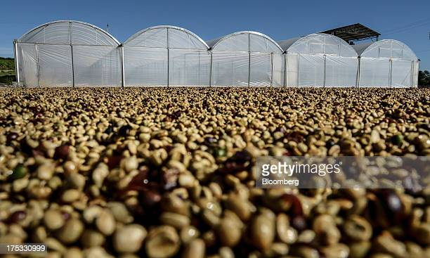 Coffee beans dry at the Boa Esperanca farm near Braganca Paulista Brazil on Monday July 29 2013 Coffee prices rose in New York trading halting a...