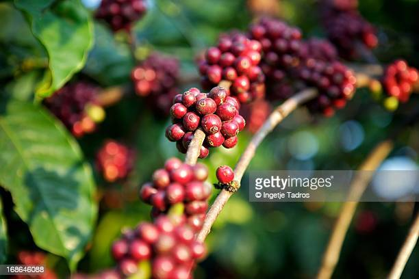 Coffee beans growing in a tree