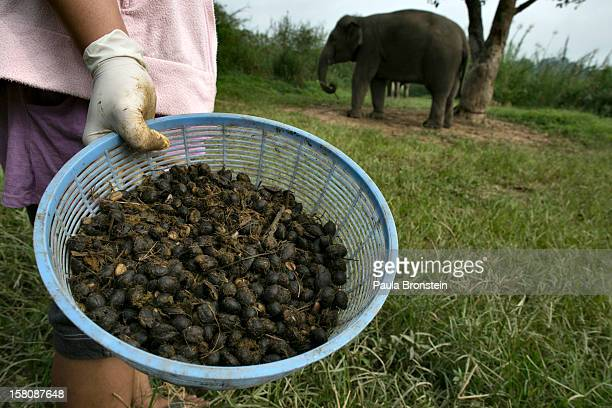 Coffee beans picked from elephant dung are held at an elephant camp at the Anantara Golden Triangle resort December 10 2012 in Golden Triangle...