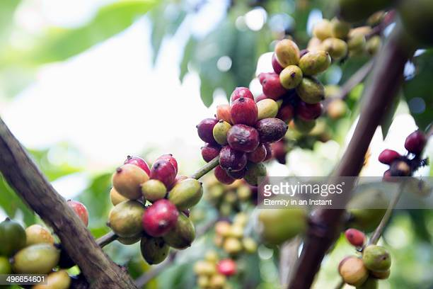Coffee berries/ beans on the Arabica coffee plant