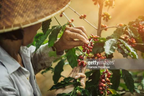 [coffee berries] close-up arabica coffee berries with agriculturist hands of vietnamese women - vietnam stock-fotos und bilder