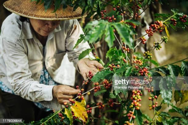 [coffee berries] close-up arabica coffee berries with agriculturist hands of vietnamese women - café culture agricole photos et images de collection