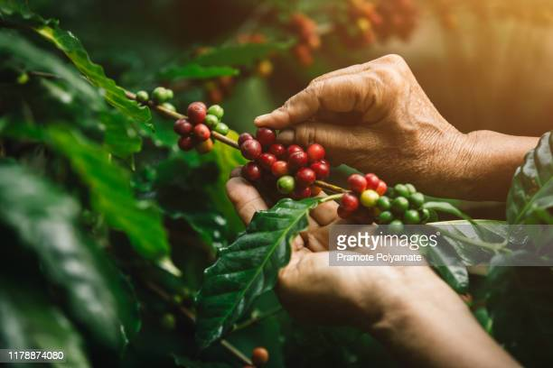 [coffee berries] close-up arabica coffee berries with agriculturist hands - gewas stockfoto's en -beelden