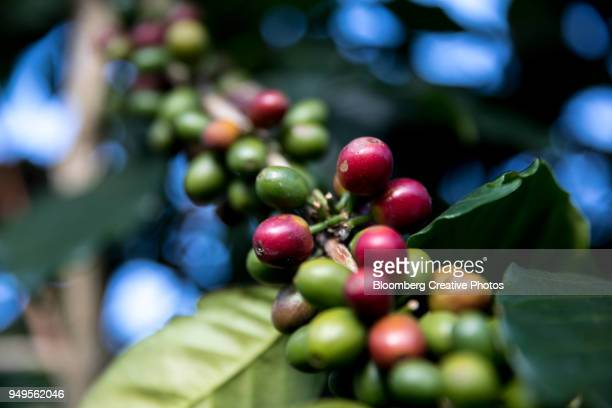 Coffee berries grow at a farm