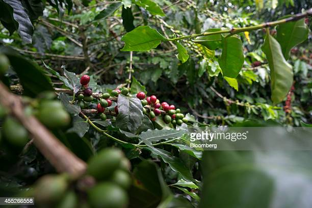 Coffee berries hang from a plant during harvest at the Finca La Francia coffee plantation in Quindio Colombia on Monday Sept 8 2014 Coffee production...