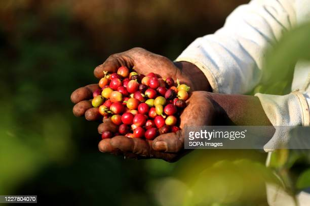 Coffee berries harvested at a farm in Chemegong area Nairobi One kilogram sells at 04USD at processing centres The cost of living in Kenya is also...