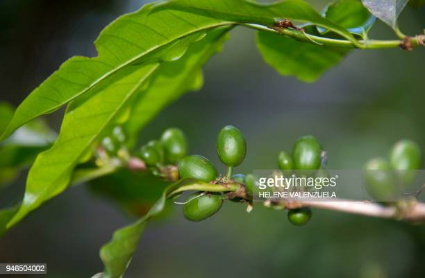 A coffe bush is pictured at the Vanibel cocoa and vanilla production facility a former 18th Century sugar refinery in VieuxHabitants Guadeloupe on...