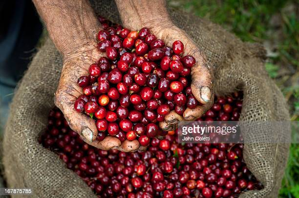 Coffee Cherries, El Salvador