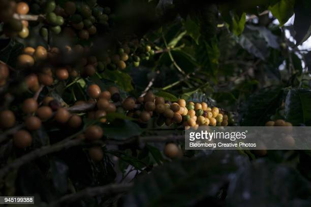Coffee cherries grow at a farm