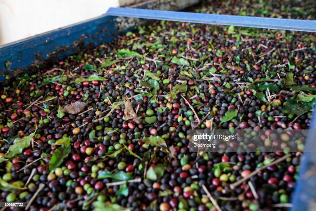 Coffee cherries pass through a machine to remove impurities