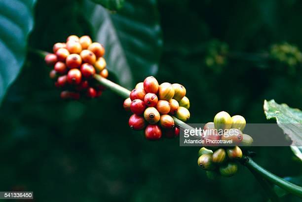 coffee cherries - café colheita imagens e fotografias de stock