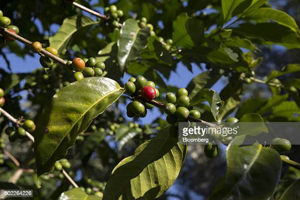 Coffee cherries ripen at a plantation on the slopes of the Agua volcano near San Miguel Escobar Guatemala on Thursday Dec 17 2015 Coffee exports rose...