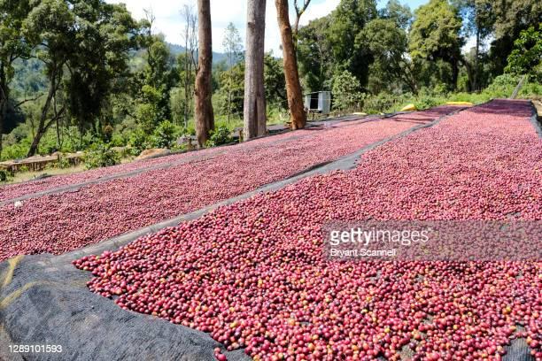 coffee cherry for processing - café colheita imagens e fotografias de stock