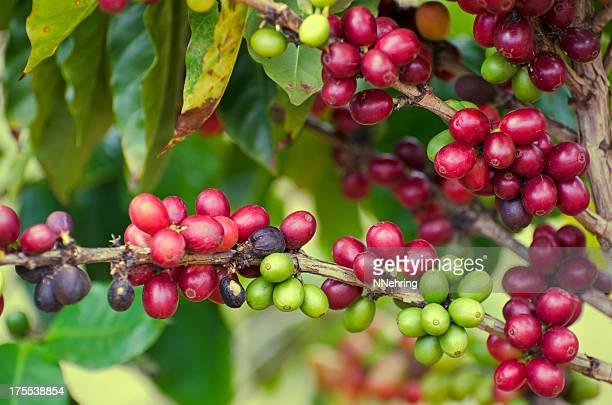 coffee, Coffea arabica, cherries on tree