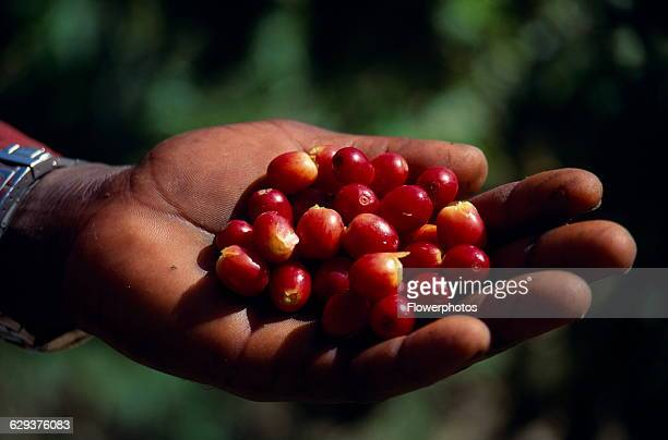 Coffee Coffea arabica Cropped shot of hand holding ripe coffee beans West Indies Jamaica