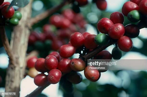 Coffee Coffea arabica