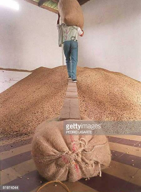 A coffee dealer empties bags of newly purchased beans in a warehouse in Pijaoin the coffeegrowing region of western Colombia15 May The Colombian...