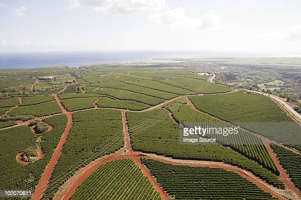 Coffee farm in kauai, hawaii