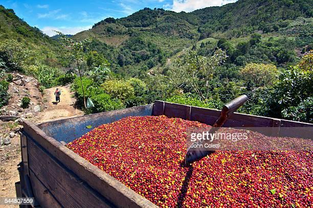 coffee farm - café colheita imagens e fotografias de stock