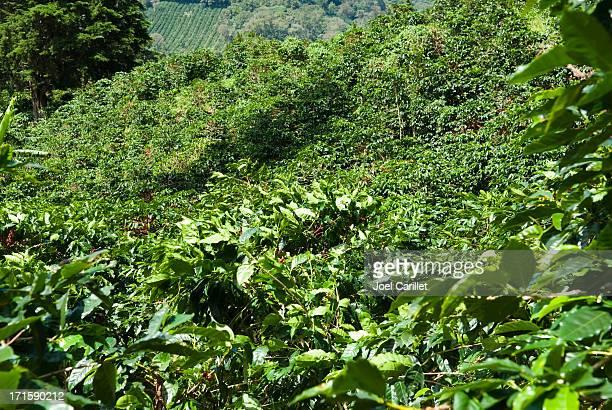 Granja cosecha café listo para