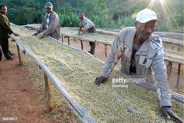 Coffee farmer Alemu Wagu right dries coffee in Biloya village Yirgacheffe Ethiopia on Saturday Dec 8 2007 Every day the world consumes over 1 billion...