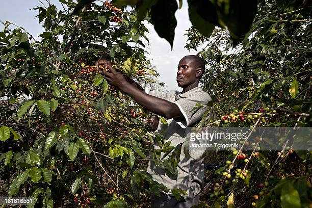 A coffee farmer picking coffee cherries that will then be put in a hand cranked coffee cherry pulper machine on March 7 2012 in Kasese Uganda Andrew...