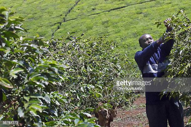 A coffee farmer prunes a coffee tree at a plantation in Kiambu central Kenya 23 September 2005 There are fears that the implementation by Kenya's...