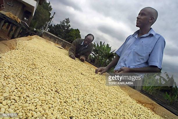 Coffee farmers are pictured at a plantation in Kiambu central Kenya 23 September 2005 There are fears that the implementation by Kenya's parliament...